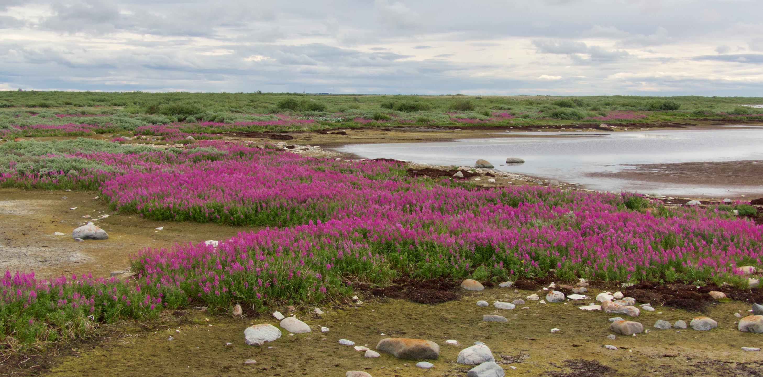 colourful tundra bloom flower Churchill Manitoba