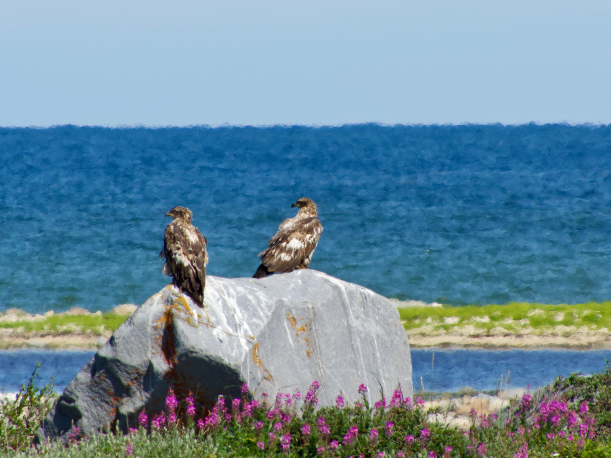 two eagles in Churchill