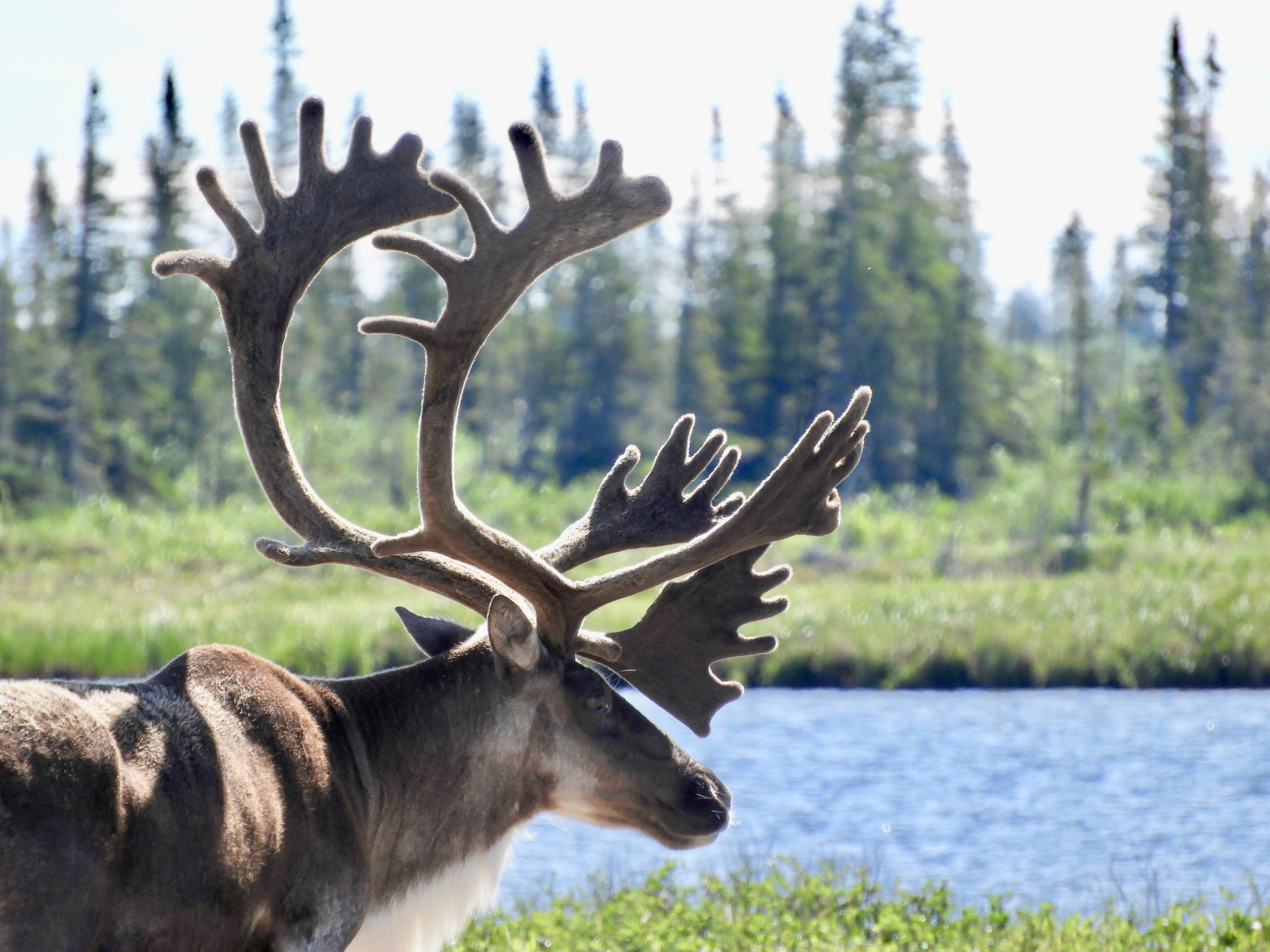 caribou in Churchill Manitoba