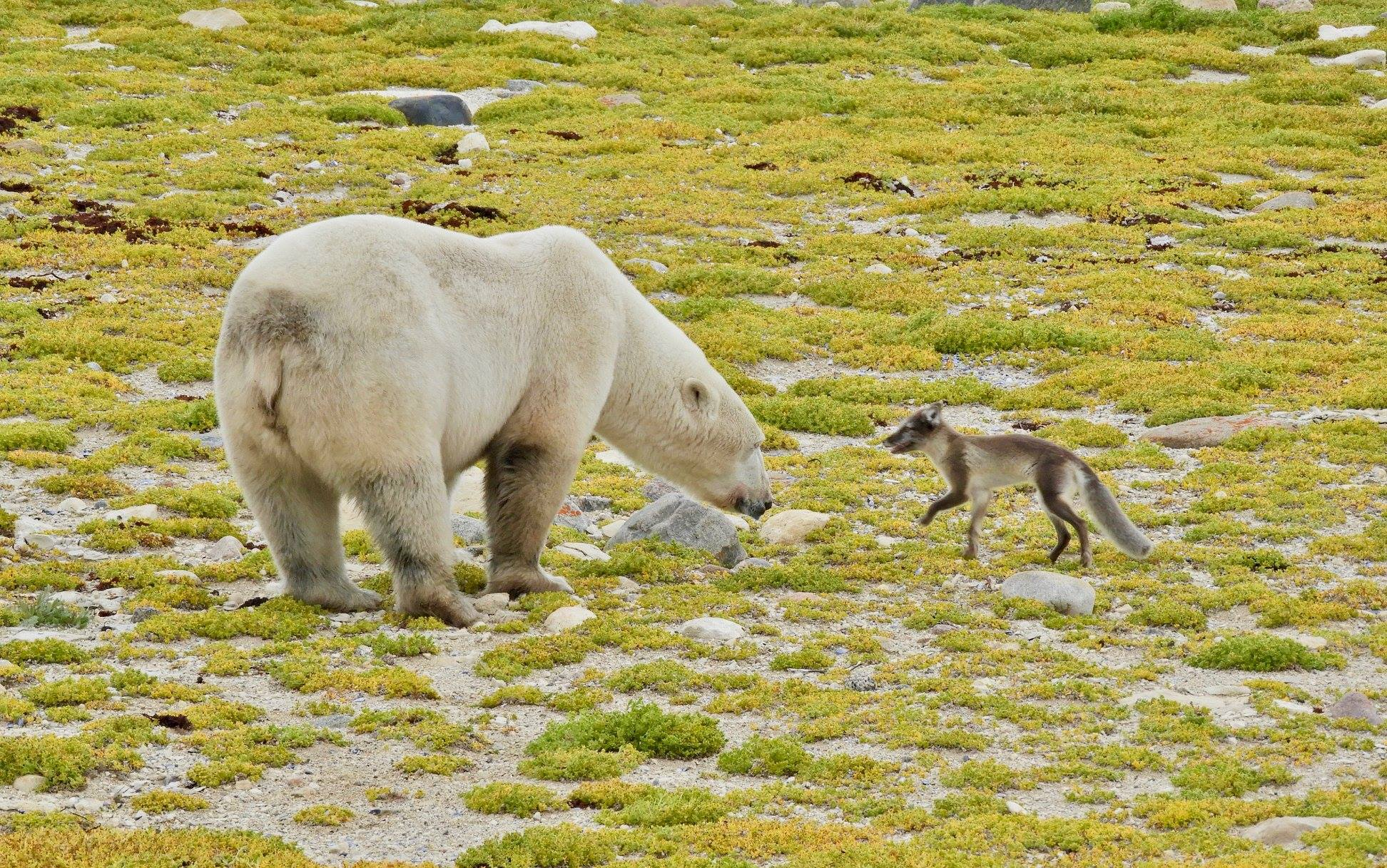 arctic fox and polar bear