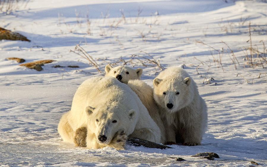 polar bear essay